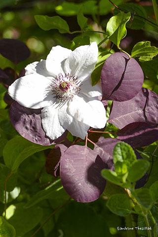 association roses anciennes en france photos de roses. Black Bedroom Furniture Sets. Home Design Ideas
