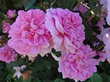 'Ispahan', Damas, unknown breeder, before 1832
