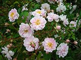 'Paul's Himalayan Musk Rambler', unknown origin, G. Paul (United Kingdom), 1913 / 1916