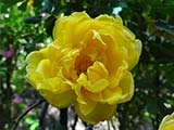 'Persian Yellow' (<i>Rosa foetida 'Persiana'</i>), <i>R. foetida</i> cultivar, introduced by Willock, 1833