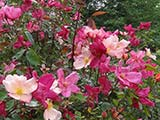 <i>Rosa chinensis 'mutabilis'</i>, <i>chinesis</i> cultivar, obtenteur inconnu (China), already widespread in Italy in 1896