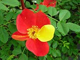 <i>Rosa foetida 'bicolor'</i> ('Rose capucine'), spore of <i>Rosa foetida</i>, species from Western Asia described by Jean Hermann in 1762, variety already known before 1590