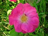 <i>Rosa gallica 'officinalis'</i>, <i>gallica</i> cultivar, unknown breeder (Europe), Middle Ages