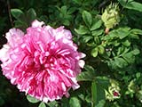 <i>Rosa roxburghii 'plena'</i>, <i>roxburghii</i> cultivar, introduced from Canton by the Dr. Rosburgh, before 1814