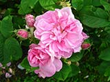 <i>Rosa x damascena 'semperflorens'</i>, Damas, unknown breeder (Persia), ancient period